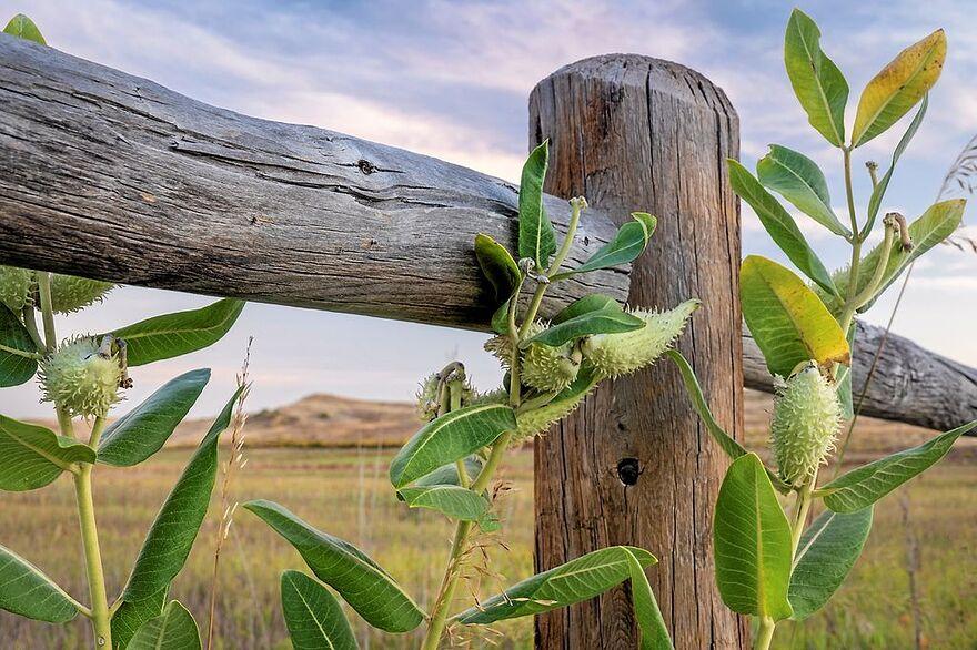 Eko-Terre achète de l'asclépiade, l'emblème floral de Granby, d'une vingtaine de producteurs à travers le Québec. En 2020, elle s'en est procuré trois tonnes.